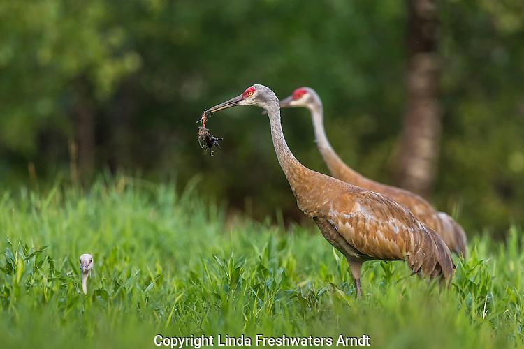 Sandhill crane parents feeding a red-winged blackbird to their offspring
