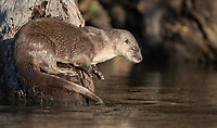 The Brazilian Amazon was a great spot to find neotropical river otters. We saw several on the Cristalino River.