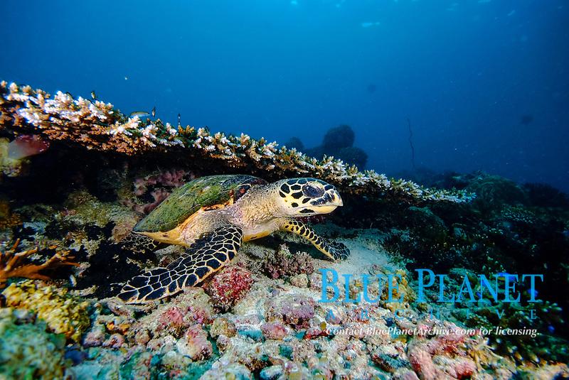 hawksbill sea turtle, Eretmochelys imbricata, resting under hard coral, acrophoridae family. Raja Ampat, West Papua, Indonesia, Pacific Ocean