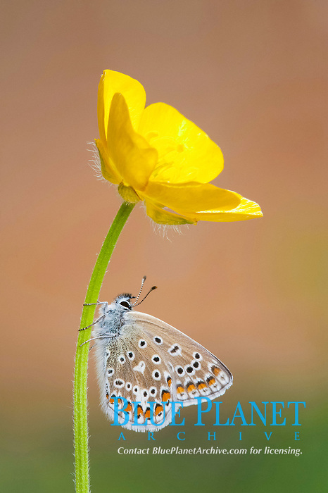 Common Blue (Polyommatus icarus), female, resting on stem of flowering buttercup, Leicestershire, England, United Kingdom, Europe