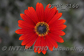 Gisela, FLOWERS, BLUMEN, FLORES, photos+++++,DTGK2160,#f#