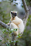 Golden-crowned Sifaka or Tattersall's Sifaka (Propithecus tattersalli) forests near Andranotsimaty, Daraina, north east Madagascar. IUCN: Critically Endangered.