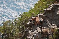 Europe/France/Corse/2B/Haute-Corse/Cap Corse/Env de Nonza: Chêvres dans le maquis