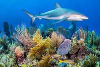 Caribbean reef shark, Carcharhinus pereziii, coral reef, Gardens of the Queen, Jardines de la Reina, Jardines de la Reina National Park, Cuba, Caribbean Sea, Atlantic Ocean