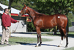 Hip #41 Street Cry - Tizso colt consigned by Taylor Made Sales at the Keeneland September Yearling Sale.  September 10, 2012.