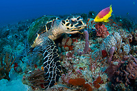 hawksbill sea turtle, Eretmochelys imbricata, foraging in a coral reef, accompanied by Spanish hogfish, Bodianus rufus, Juno Beach, Florida, USA, Atlantic Ocean