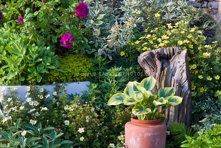 Beautiful lush mixed garden plantings, with roses, Potentilla, Sedum, hosta, hydrangea, peony, Salvia, Hosta Great Expectations terracotta  in container pot, shrubs, ornamental grassevergreens Picea, fence, brick patio
