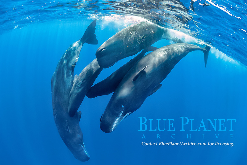 pod of sperm whales socializing, Physeter macrocephalus, Dominica, Caribbean Sea, Atlantic Ocean, photo taken under permit n°RP 16-02/32 FIS-5