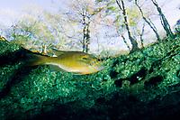 Bluegill, Lepomis macrochirus, swimming close to the surface, Ginnie Spring, Florida, Unites States