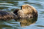 Sea Otter (Enhydra lutris) sleeping, Elkhorn Slough, Monterey Bay, California