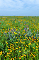 Rudbeckia hirta Black-eyed Susan coneflower perennial wildflower, Leadplant, Amorpha canescens. and Elymus, wild rye in Joseph H. Williams Tallgrass Prairie Preserve Nature Conservancy, Oklahoma