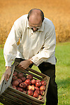 Heritage Days Festival. Union County. Colonial man dumping apples from crate.