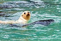 Antarctic fur seal, Arctocephalus gazella, aka Kerguelen fur seal, rare, leucistic pup, playing along with normally dark-colored pup, South Georgia, Atlantic Ocean
