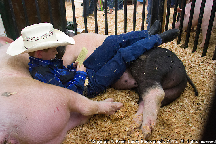 """Laying on his pigs """"Thunder"""" (left) and """"Lightning"""" Blake Neuman, 10, from Enumclaw, Wash., reads a note that a sponsor was donating money towards his project. Neuman is a 4H student from Westwood Elementary School. This is his second year raising pigs in the 4H program. His parents are farmers raising cows, chickens and goats and have a barn for this pigs. When he gets older he wants to be rancher. He wants to use the money he makes from selling Thunder and Lightning for his first rifle and for college. Lightning weighs 254 pounds. Neuman weighs 73.<br /> <br /> Students in the FFA and 4H programs participate in the auction of livestock including steers, lambs and hogs in the Northwest Junior Livestock Show at the Washington State Spring Fair in Puyallup, Wash. on April 19, 2015.  (photo © Karen Ducey Photography)"""