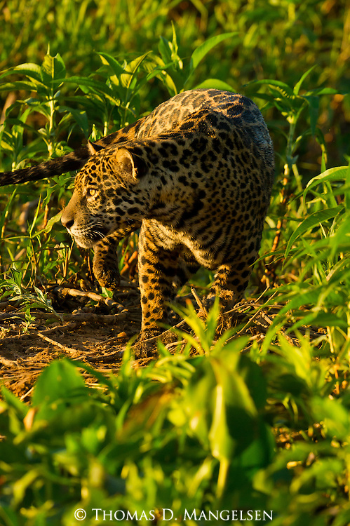 A jaguar stalks prey on the Pantanal, Mato Grosso, Brazil.