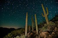 Saguaro cacti in at nightfall in Southern Arizona.