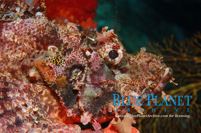 New Guinea Scorpionfish, Scorpaenopsis novaeguinea, Beqa Lagoon, Pacific Harbour, Fiji, South Pacific Ocean