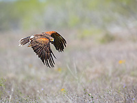 Adult Harris's Hawk in flight with wings in downstroke
