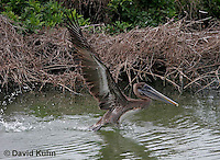 0308-0887  Flying Brown Pelican, Pelecanus occidentalis © David Kuhn/Dwight Kuhn Photography