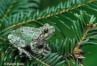 FR10-036a  Gray Tree Frog - on tree branch - Hyla versicolor