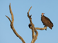 We had just missed a cheetah-lion-hyena fracas at a carcass in Kruger… but the vultures were still around.