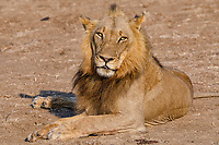 africa, Zambia, South Luangwa National Park,  clos up  lion