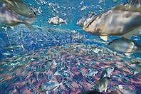 juvenile Kona Kampachi, Hawaiian yellowtail, aka almaco jack or kahala, Seriola rivoliana, inside open ocean fish pen, Kona Blue Water Farms, Kailua Kona, Big Island, Hawaii, Pacific Ocean