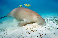 dugong or sea cow, Dugong dugon, feeding on sea grass, Halophila ovalis, accompanied by pilot jacks, Gnathanodon speciosus, Western Australia, Australia, Indian Ocean