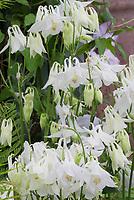 Columbine white Aquilegia vulgaris Nivea in spring bloom