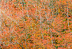Vine maple trees in fall, Olympic National Park, Washington
