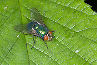 Goldfliege, Gold-Fliege, Weibchen, Lucilia spec., greenbottle, green bottle fly, Schmeißfliegen, Calliphoridae