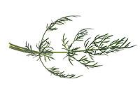 Wiesen-Kümmel, Wiesenkümmel, Kümmel, Echter Kümmel, Carum carvi, Caraway, meridian fennel, Persian cumin, Cumin, Le carvi, le cumin des prés. Blatt, Blätter, leaf, leaves