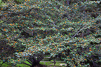 Hybrid Monkey Hand Tree, x Chiranthomontodendron lenzii (aka  Chiranthofremontia); inter- generic hybrid between Chiranthodendron and Fremontodendron 'Pacific Sunset'; yellow flowering shrub at Rancho Santa Ana Botanic Garden