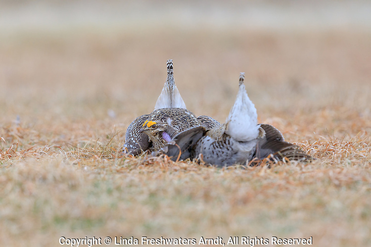 Two male sharp-tailed grouse facing off on a lek in Namekagon Barrens.