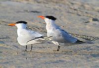 Royal tern pair in breeding plumage