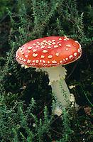 Roter Fliegenpilz, Fliegen-Pilz, Amanita muscaria, fly agaric, fly Amanita