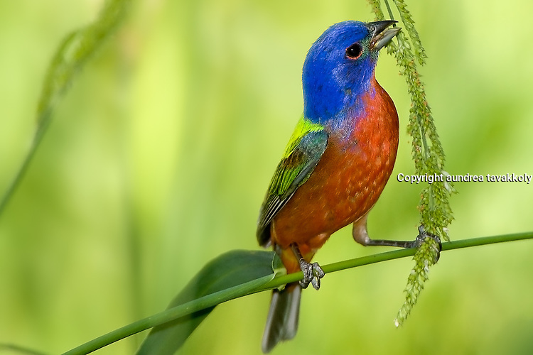 Painted bunting eating seeds at a small pond in Texas, Passerina ciris