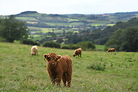 BNPS.co.uk (01202 558833)<br /> Pic: ZacharyCulpin/BNPS<br /> <br /> A farmer whose beloved Highland cow was chased to its death by two pet dogs has been given nine more by a kind stranger.  <br /> <br /> Gladis, a 'beautiful' rare breed, broke her neck and died two months ago along with the unborn calf she was about to give birth to after tumbling 40ft down a steep embankment.<br /> <br /> She was running from two Labradors that had been let off their leads on Eggardon Hill near Bridport, Dorset.