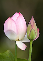 Two budding Pink lotus flowers