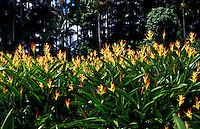 Field of Heliconia psittacorum cv. Rhizomatosa or Parakeet