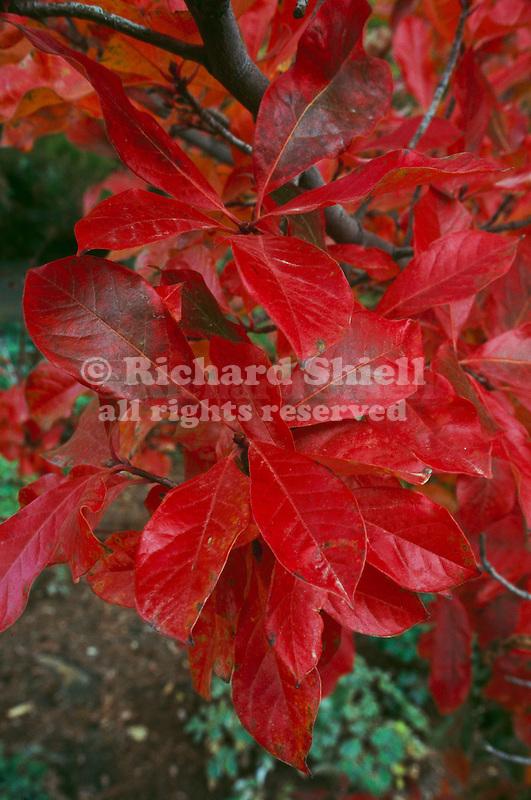 11256-CD Black Gum or Pepperidge Tree, Nyssa sylvatica, red fall foliage color, at Mourning Cloak Ranch & Botanical Garden, Tehachapi, CA USA