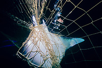 Diver observes mobula or devil ray, Mobula sp., caught in gill net, Huatabampo, Mexico, Sea of Cortez, Pacific Ocean