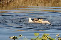 Photographed at Arthur Marshall Loxahatchee Preserve, Boynton Beach, Florida. One alligator kills the other and rips the loser apart!