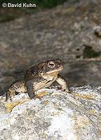 0304-0929  American Toad, © David Kuhn/Dwight Kuhn Photography, Anaxyrus americanus, formerly Bufo americanus