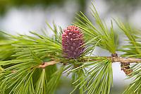 Europäische Lärche, Larix decidua, frische Nadeln im Frühjahr und Blüte, European Larch
