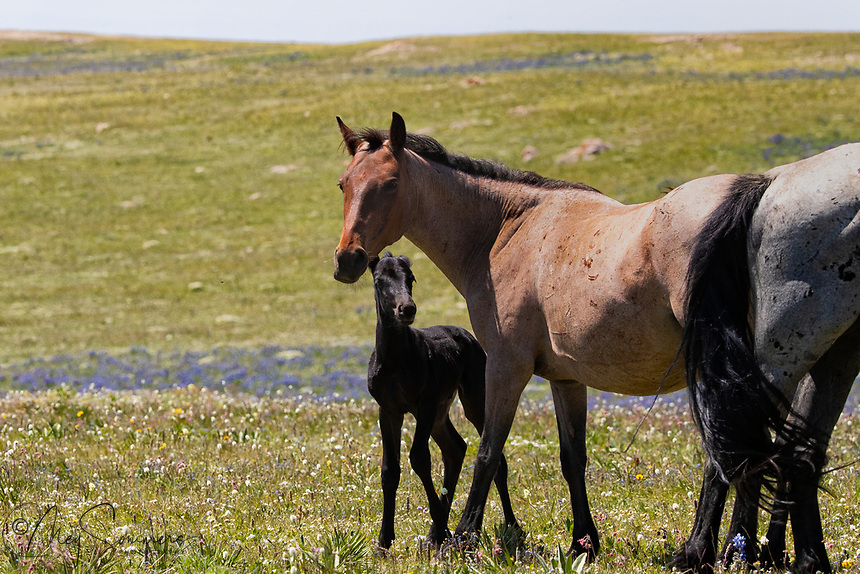 This young foal, a colt named Ultra Blue, is only days old and staying very close to his mom, La Brava.