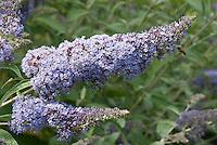 Butterfly Bush Buddleja davidii 'Dart's Papillon Blue'