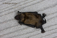 MA20-845z  Big Brown Bat on the ground dead, Eptesicus fuscus
