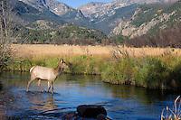 Elk Calf, Rocky Mountain National Park