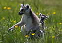 """16/05/16<br /> <br /> """"Where are we going mum?""""<br /> <br /> Three baby ring-tail lemurs began climbing lessons for the first time today. The four-week-old babies, born days apart from one another, were reluctant to leave their mothers' backs to start with but after encouragement from their doting parents they were soon scaling rocks and trees in their enclosure. One of the youngsters even swung from a branch one-handed, at Peak Wildlife Park in the Staffordshire Peak District. The lesson was brief and the adorable babies soon returned to their mums for snacks and cuddles in the sunshine.<br /> All Rights Reserved F Stop Press Ltd +44 (0)1335 418365"""